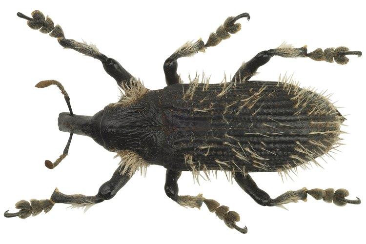 Los escarabajos son una categoría de insecto.