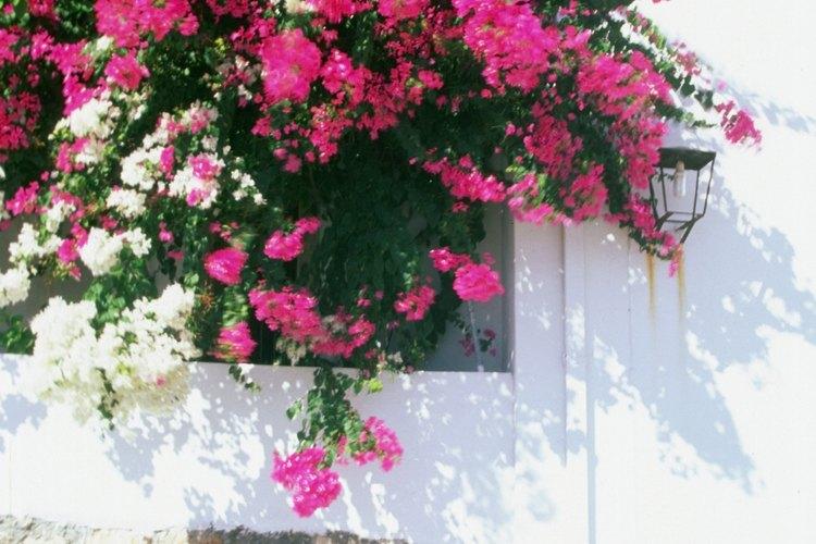 La buganvilla florece mejor bajo la luz solar plena.