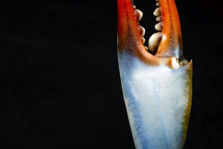 Los cangrejos hembra se distinguen fácilmente por las puntas rojas de sus tenazas.