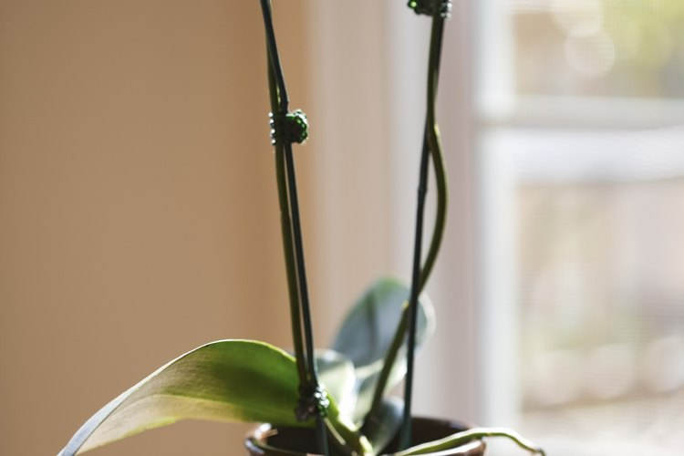 Las orquídeas son una opción atractiva para los jardineros.