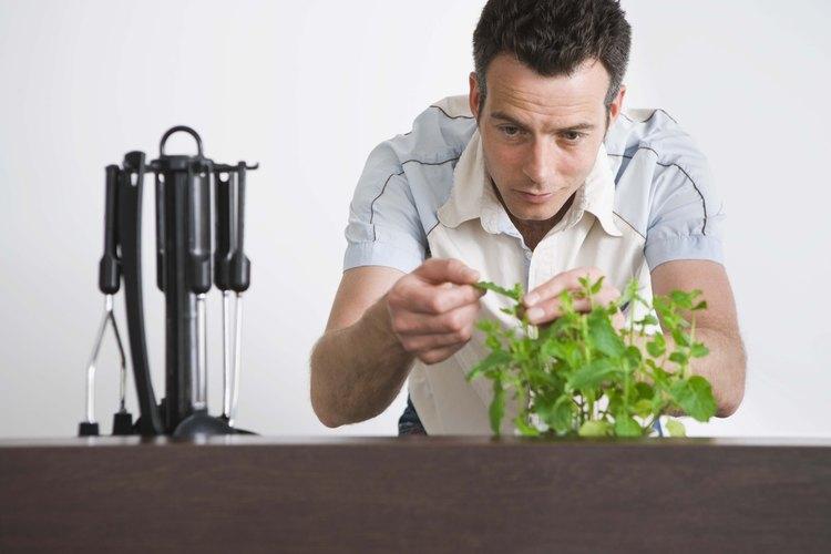 Inspecciona la menta cuidadosamente para verificar si tiene hojas dañadas.