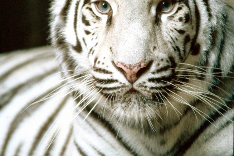 Los tigres blancos tienen una importancia significativa en la cultura coreana.