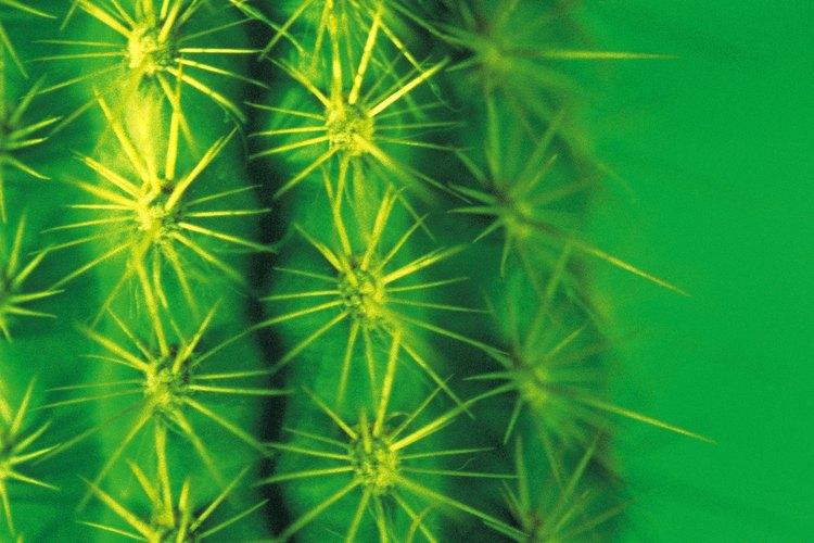 Las espinas de cactus ayudan a la supervivencia en ambientes hóstiles.