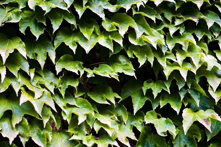 La hiedra trepadora forma una atractiva pared vertical.