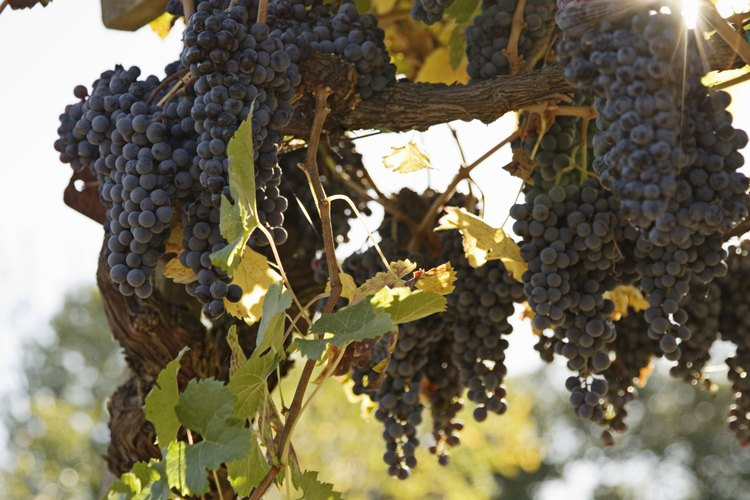 Los altos rendimientos de uva requieren la tierra adecuada.