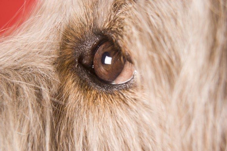 Cortar el pelo alrededor de los ojos de los perros con pelo largo hará que el cuidado de los ojos sea más sencillo.