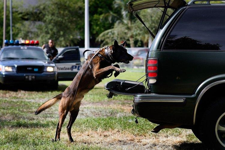 Algunos perros pueden subir de un salto a las camionetas.
