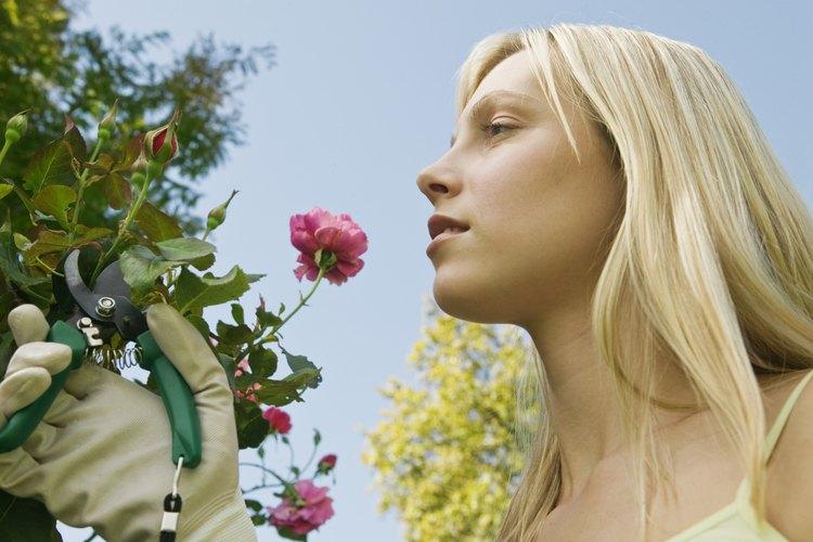 Las rosas pasan por varias etapas antes de convertirse en flores fragantes.