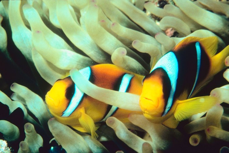 Todos los peces payaso nacen hombre.