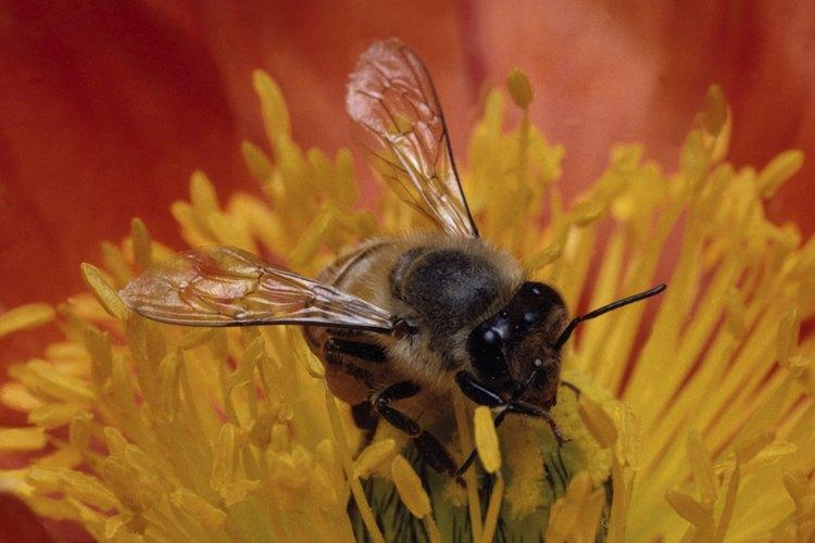 El polen de abeja contiene muchísimas vitaminas y nutrientes.