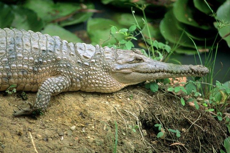Usa una foto de un cocodrilo real como inspiración.