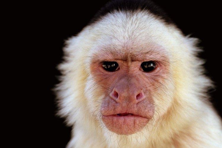 El grupo Cebidae del Nuevo Mundo son los únicos monos que tienen una cola prensil.