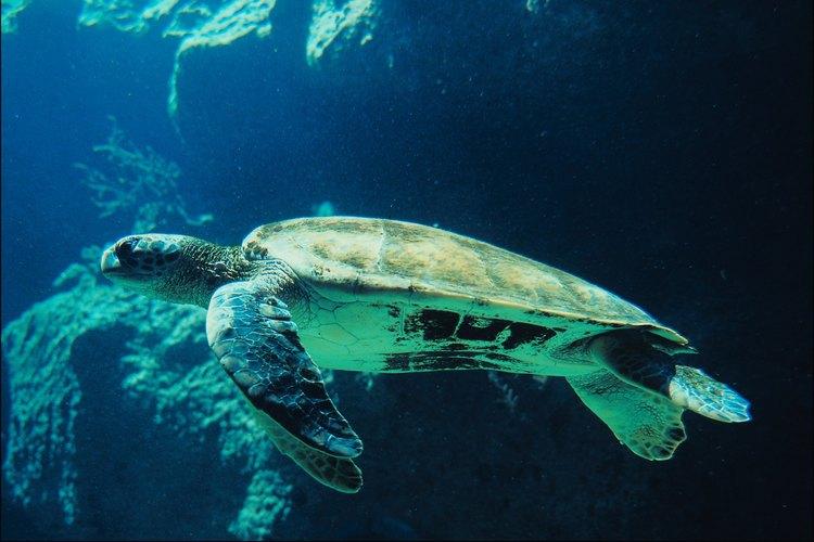 Las tortugas son reptiles muy versátiles, que viven tanto en la tierra como en el agua y en diferentes entornos.