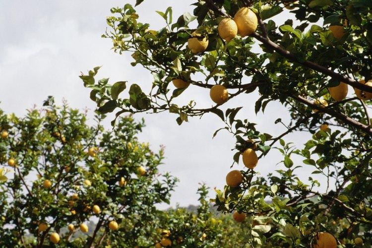 Dentro de Estados Unidos, los limones crecen principalmente en California, Arizona y Florida.
