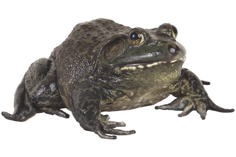 Cómo deshacerte de las ranas ruidosas en tu jardín.