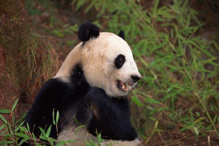 La caza furtiva humana y la pérdida del hábitat natural son las amenazas más grandes para el panda gigante.