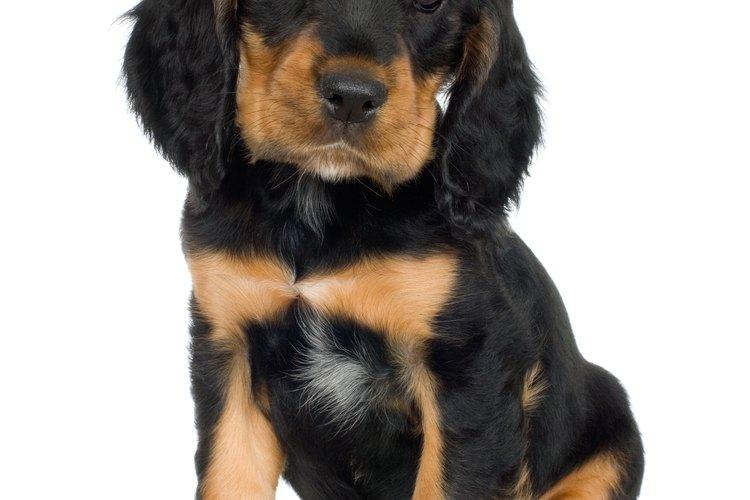 Cómo curar las heces flojas de un cachorro.