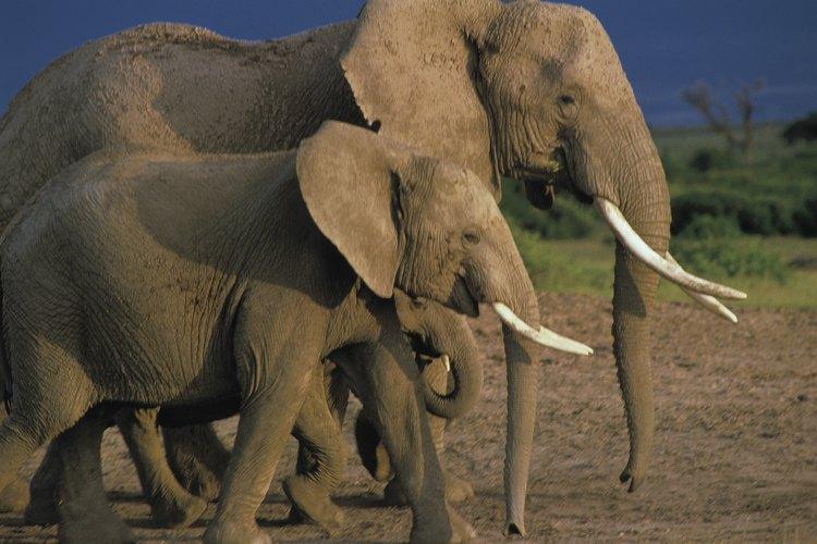Un grupo familiar individual se separará de la manada y migrará por su cuenta.