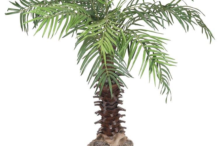 Las palmeras pindó deben trasplantarse con un año de por medio.