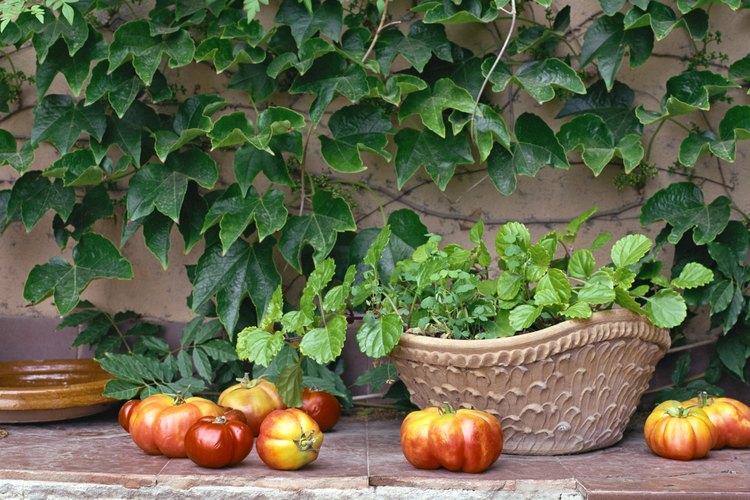 Las plantas de tomate siempre deberían ser trasplantadas al menos tan profundo en la tierra nueva como lo fueron en la maceta o recipiente anterior.