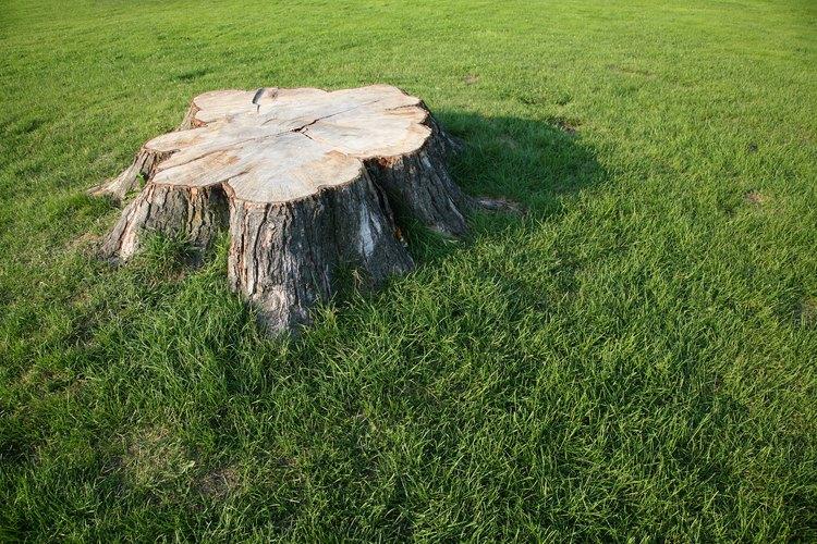 Corta el tronco lo más cerca posible del suelo.