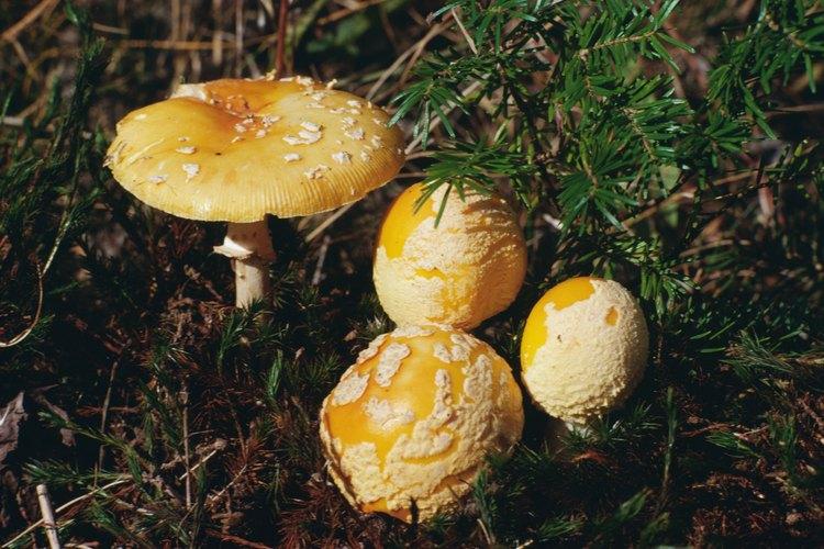 Las setas Amanita se encuentran entre los más mortales de todos los hongos venenosos.