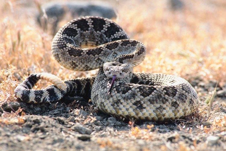 La mayoría de las especies de serpientes de Florida tienen patrones alternados de colores.