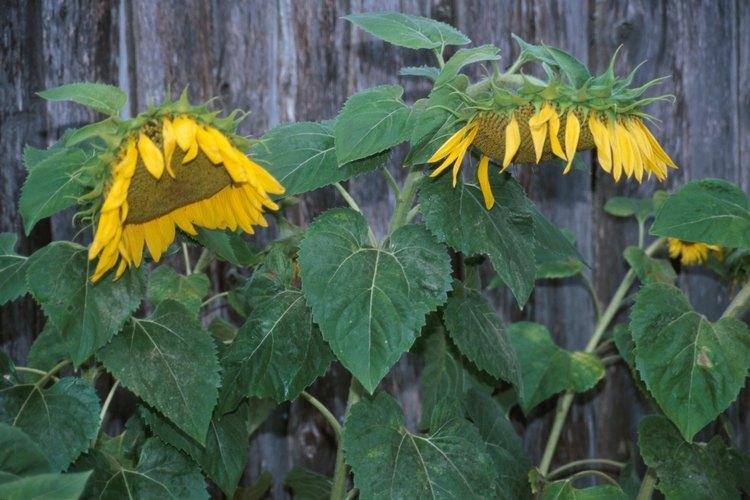 Las plantas caídas pueden estar así por diferentes causas.