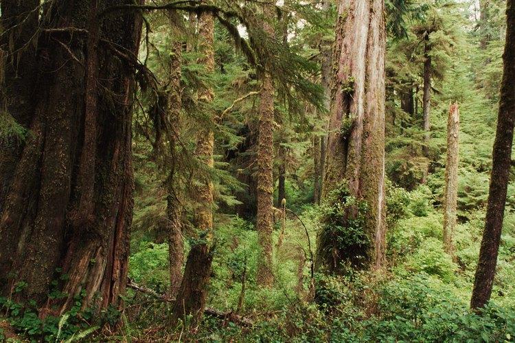 El pino blanco del Este (pinus strobus) es probablemente el de más rápido crecimiento de todos los árboles de pino y cedro.
