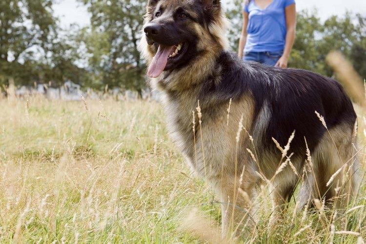 La raza de AKC de pastor alemán americano es la única raza no europea.