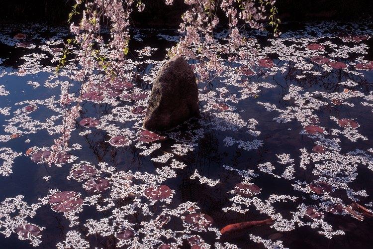 Las plantas en los alrededores del estanque son tan importantes como los peces en el mismo.