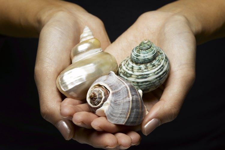 Las conchas de mar se encuentran en diversas formas, tamaños y colores.