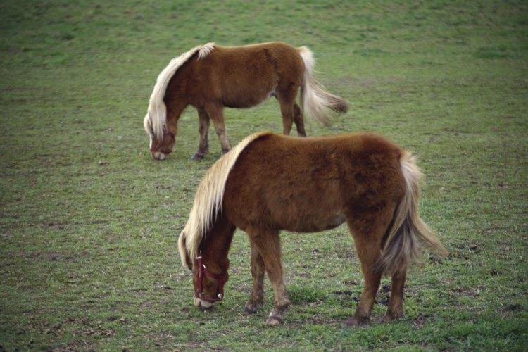 Muchos caballos miniatura tienen linaje de los poni Shetland.