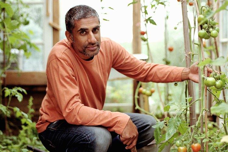 Las estacas y cordeles pueden mantener los tomatales erguidos.