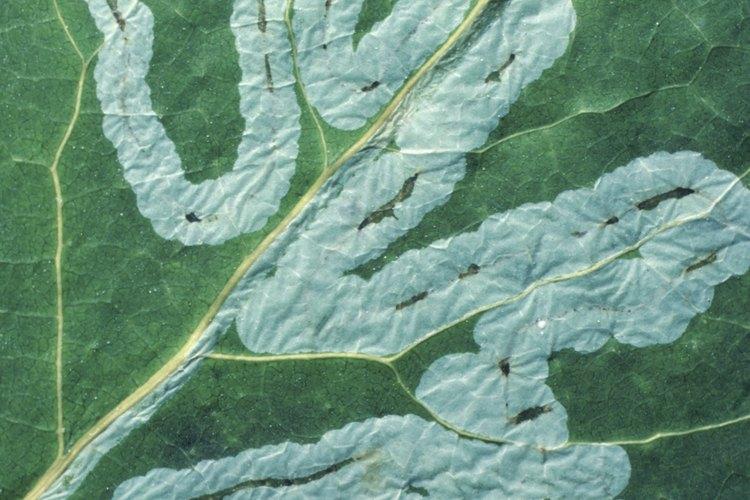 El azufre es un antiguo remedio para las infecciones de las plantas.