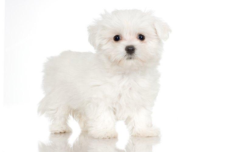 Debes de bañar a tu cachorro Maltés poco después de llevarlo a casa.