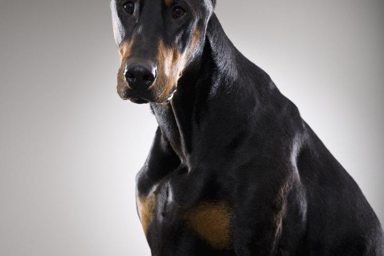 La raza Doberman es una raza de perros grandes.
