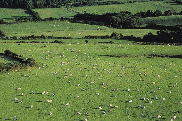 Duerme bien después de contar ovejas en tu caminata por el condado de Dorset, Inglaterra.
