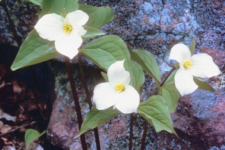 Los trilliums florecen en la primavera temprana en las zonas boscosas del parque.