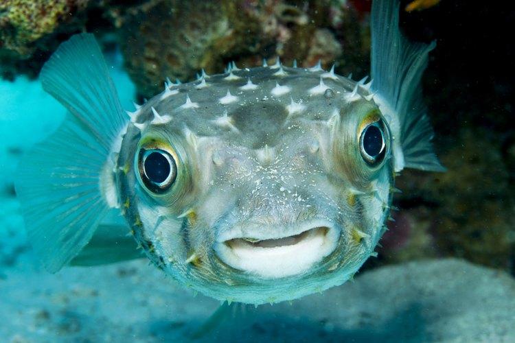 Un pez globo.