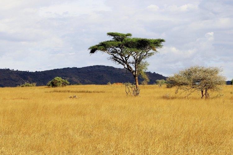 El ébano puede encontrarse como árboles solitarios en la sabana.