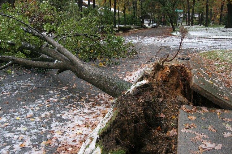 Las raíces del árbol que son extensas pueden amenazar las aceras.