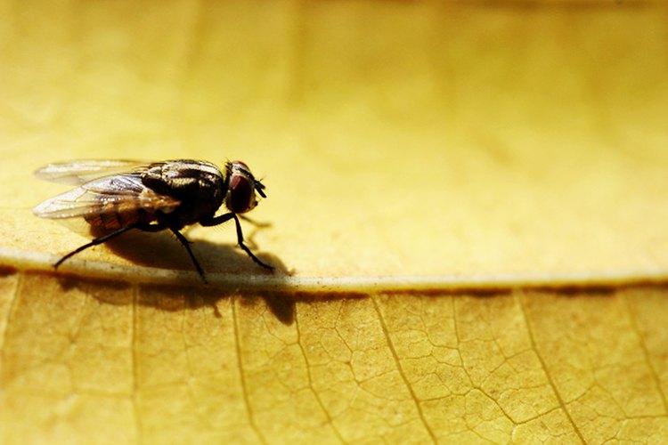 Los ojos de la mosca son compuestos, colocados en los lados de su cabeza, y contienen miles de lentes individuales. Permiten a la mosca detectar el movimiento en un ángulo extremadamente amplio.