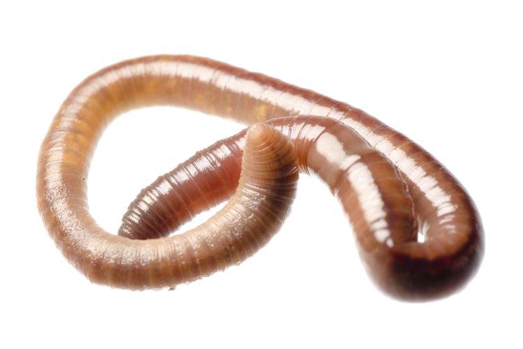 Acercamiento de un gusano.