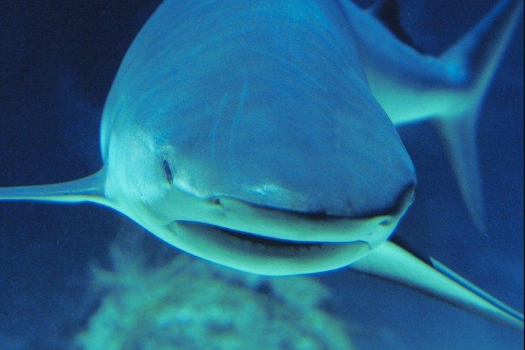 Los abrasivos primitivos se hacían con piel de tiburones desecada.