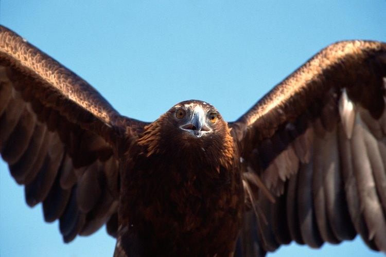 Águila cazando.