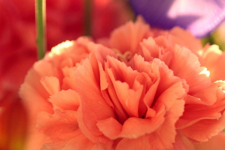 Este grupo de plantas combina las mejores características de sweet Williams y China pinks.