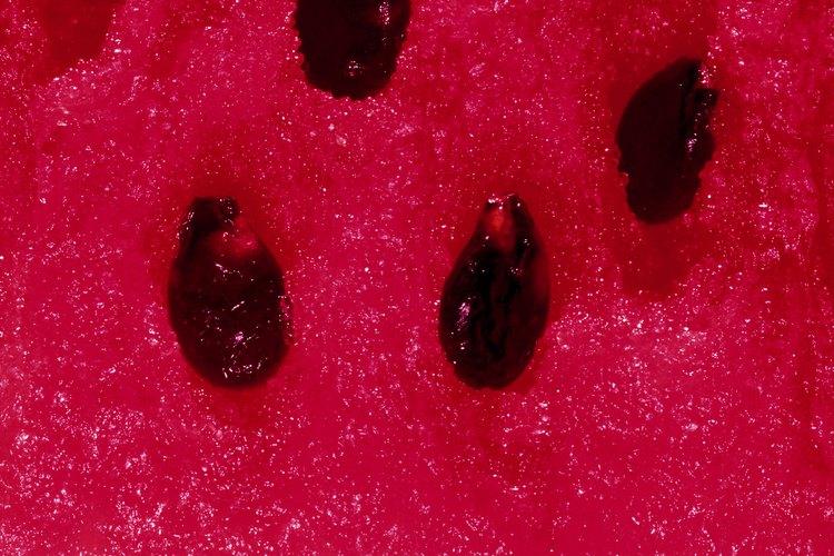 Las semillas de una sandía de reliquia pueden ser guardadas de un año a otro.