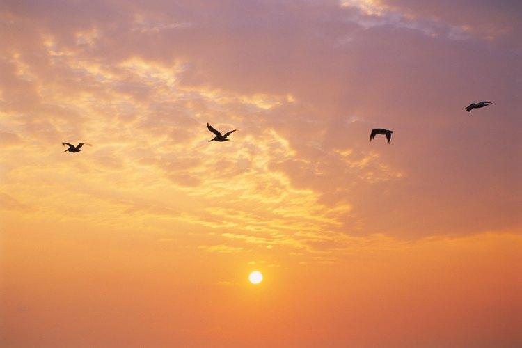 Las alondras cantan durante el vuelo.