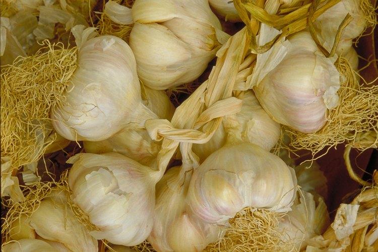 Los bulbos de ajo necesitan un ciclo de plantación completo para madurar.